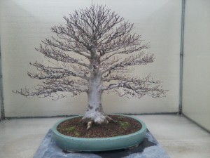 Bonsai, Seattle Washington